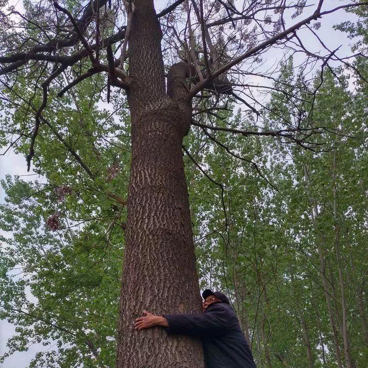 揭秘!杞县村里的古树……
