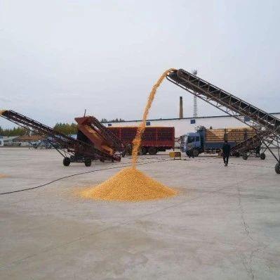 粮价上涨,玉米破1.3元/斤大关,偃师农民反倒不开心!为啥?答案揭晓