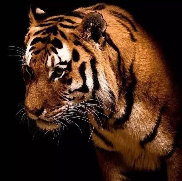 经典短篇:《一只饥饿的老虎》