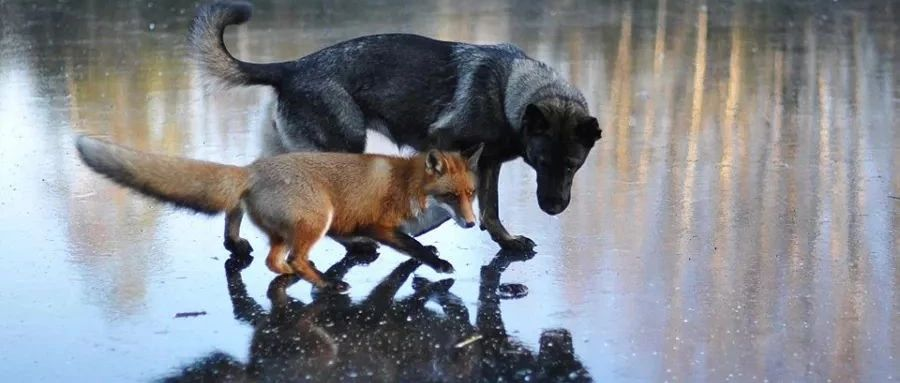狗与狐狸,看看吧,这就是人性!