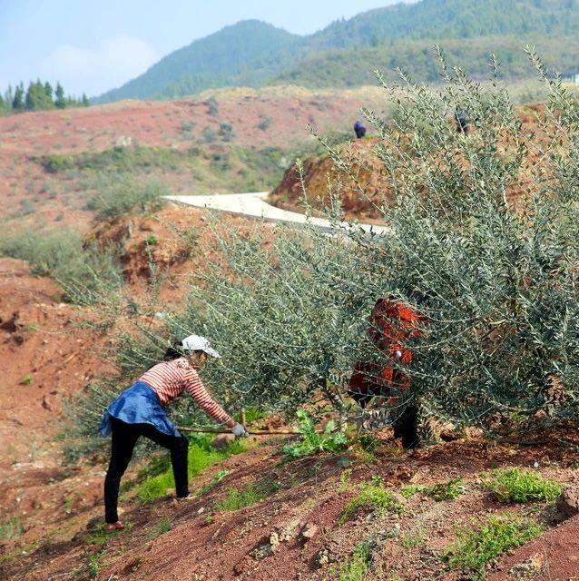 奉�甲高�:油橄�旆N植走上致富之路