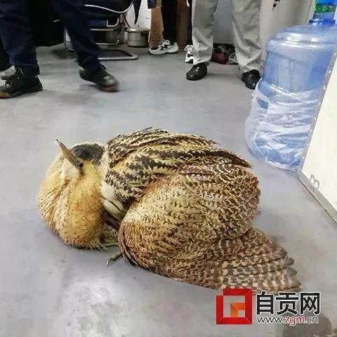 富顺男子在路边捡到一只半人高大鸟,结果让人大吃一惊!