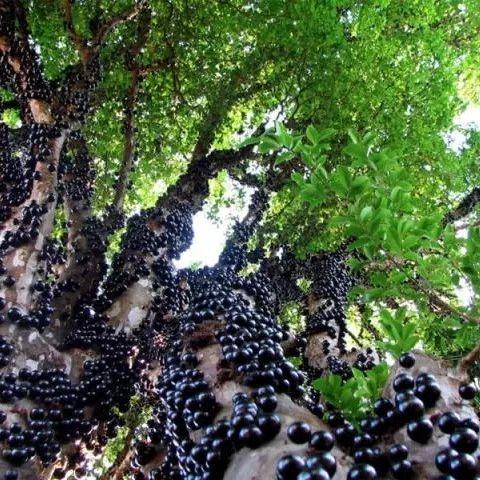 这种正当季的水果500元一斤!你吃过吗?