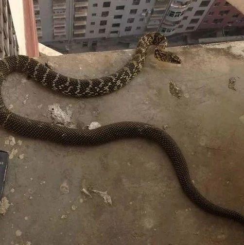 昨晚,澳门威尼斯人赌博官网一居民发现家中鸡蛋被偷,盗贼竟然是一条大花蛇!