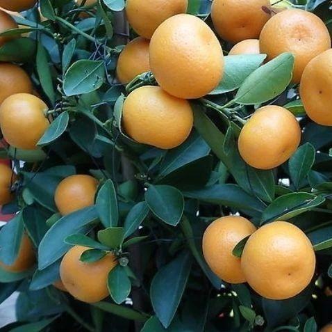 爱吃橘子的人注意了,现在知道还不晚!