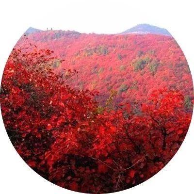 内乡这座山要红了,赏红叶看日出观云海,套票仅需39.9元!