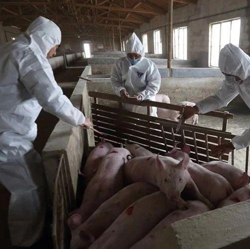 注意:吉林省发生一起非洲猪瘟疫情,已发布封锁令!