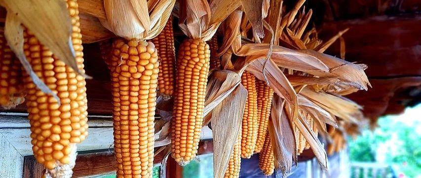 玉米,又TM掉�r了!