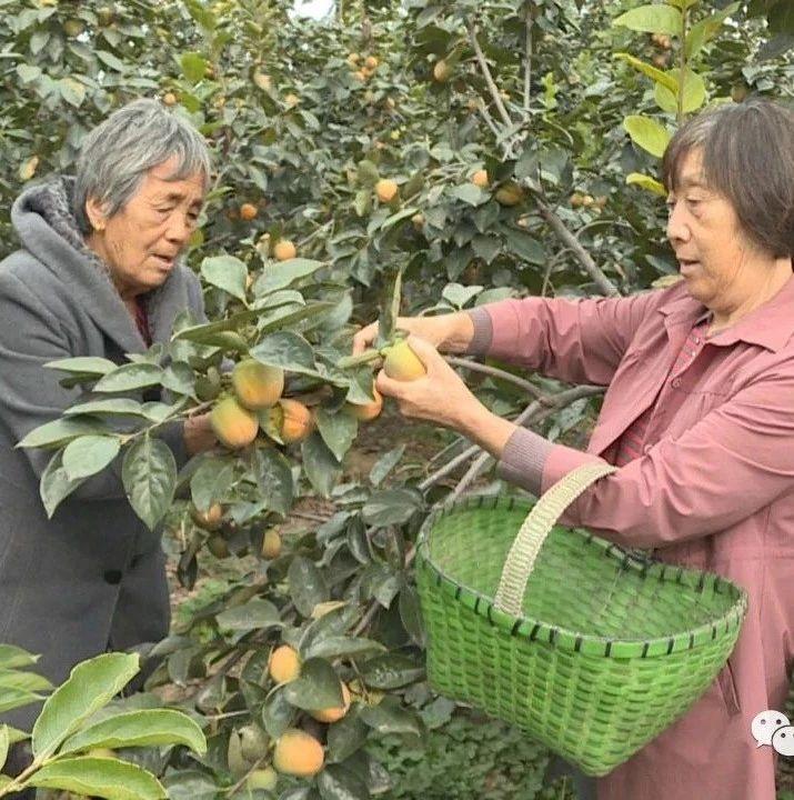新村镇文士湾:柿子挂满枝果农乐开花
