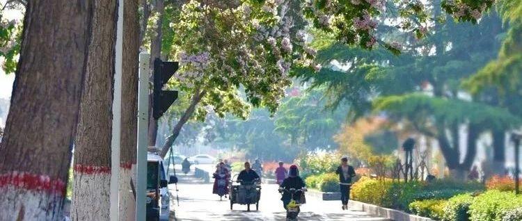 市树――楸树开花,惊艳汝州城!但它背后的这些故事你知道吗?