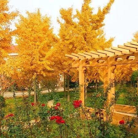 莱阳:一色金黄染深秋色彩斑斓瞅不够