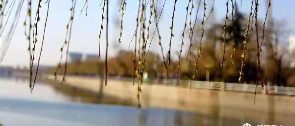 莱阳聚焦:六九河柳