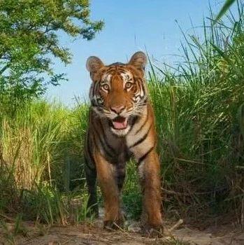 路遇老虎,夫妻二人吓得爬上竹子并拍下视频