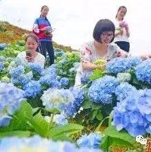 美爆了!永春这个地方绣球花开放,吸引众多游客观赏~