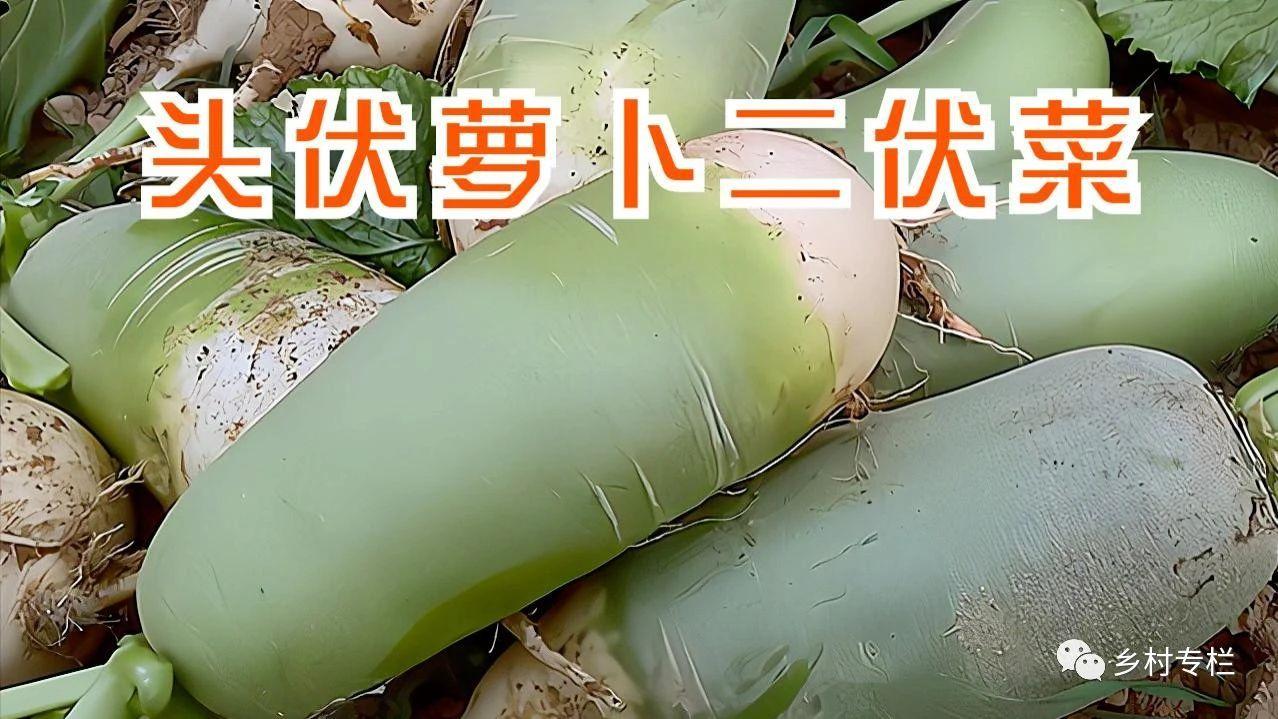 """""""头伏萝卜二伏菜"""",入伏后6种蔬菜可以种了,阜阳菜农们别错过"""