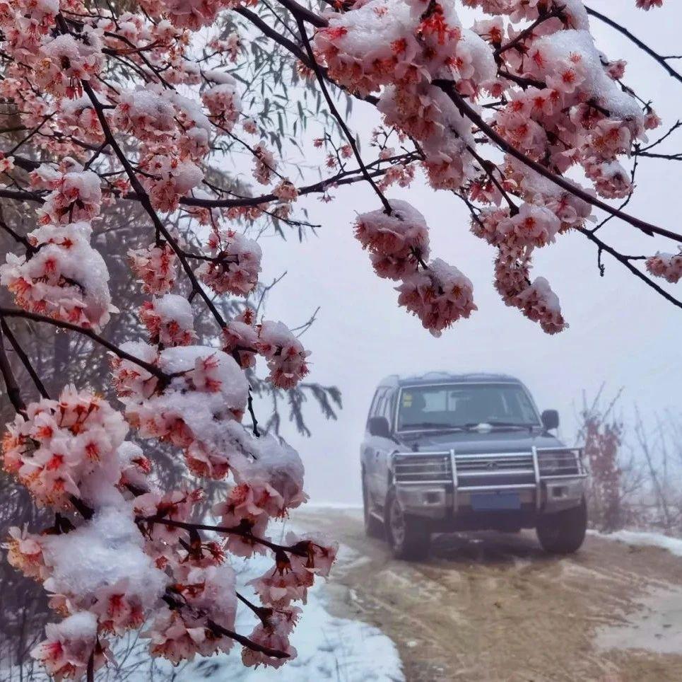 这场樱花与雪花的邂逅奇观,就发生在大悟!