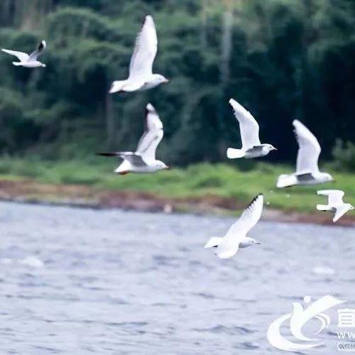 南溪人再也不用去昆明看了!红嘴鸥来了!合江门、南广河…满天都是!