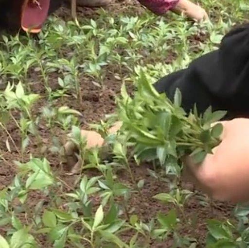 打过铁、喂过猪!宜宾54岁农民回家搞种植!一年收入超50万元