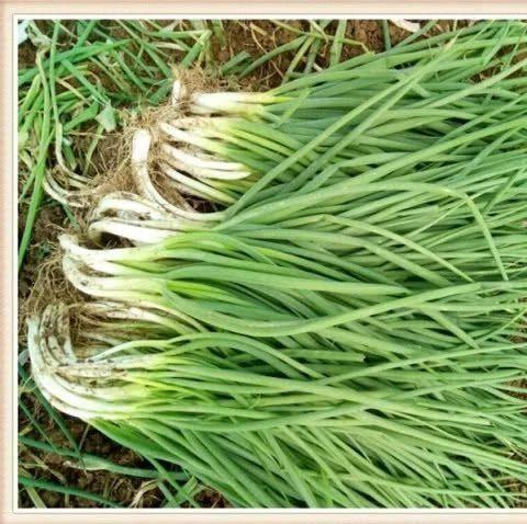 小葱别放冰箱保存,教你简单土方法,随吃随取新鲜翠绿!涨知识了