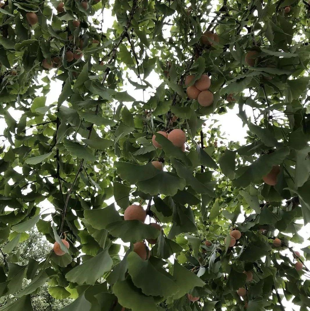 紧急提醒@汝州的亲!这种果子随处可见,但千万别捡!不少人都遭了...