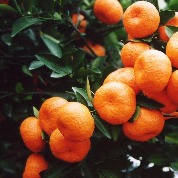 江西(南昌)柑橘新品种全产业链运作新模式高峰论坛24日在南昌召开!