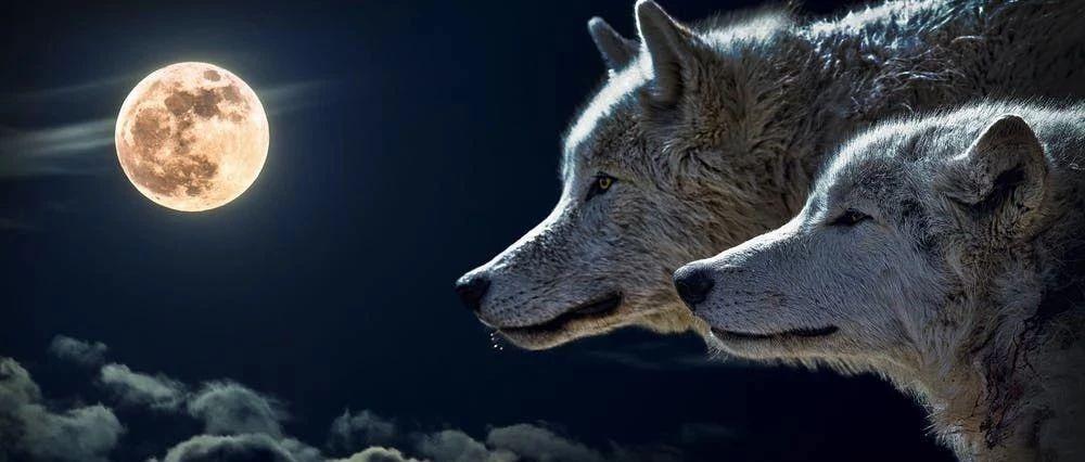 为什么猪离不开圈,狼却可以横行天下?99%的人看完都沉默了!