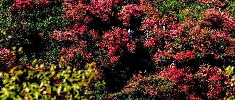 金寨千亩野生映山红,花开数百年,甩湖北麻城几条街……