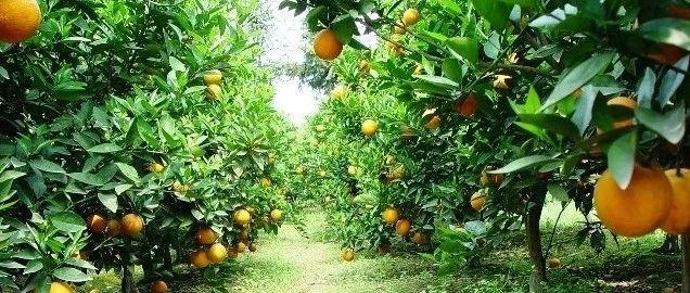 好消息!省里刚刚公布的这份名单,富顺柑橘上榜!