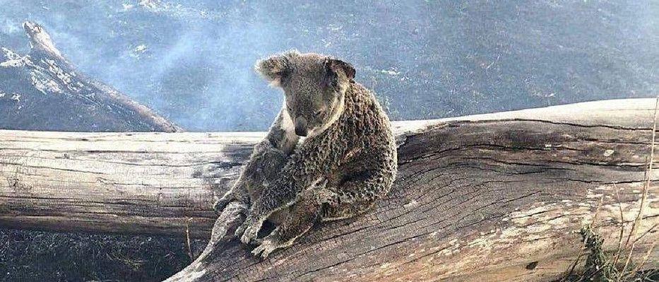 澳洲山火5��月��]停,近5�|只�游�K死!到底是天�倪�是人�?