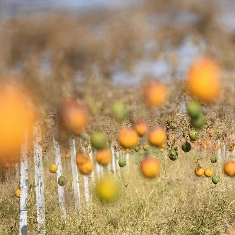 【脱贫攻坚】瓜蒌种植助力产业扶贫