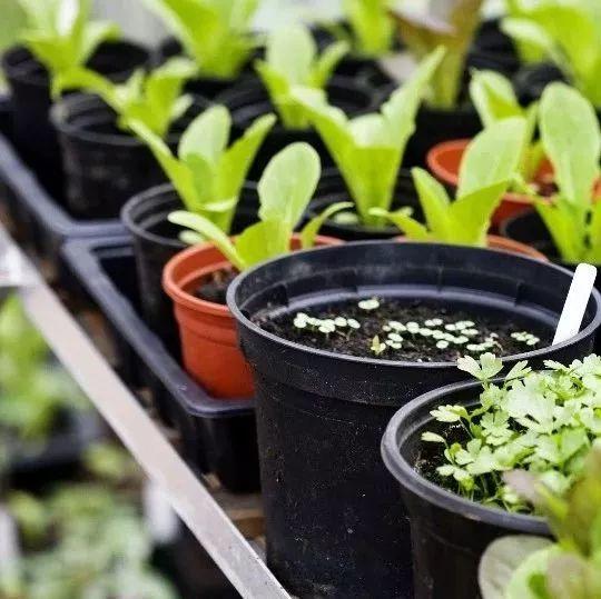 把这些菜种您家阳台花盆,一年四季鲜蔬不断!谁还去菜市场啊...