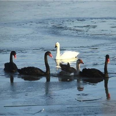 甘肃张掖:冬日天鹅冰面嬉戏成趣