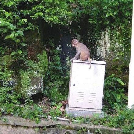 """巴中市民登南龛山偶遇""""大师兄"""",原来是动物园猴子逃跑了"""