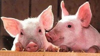 我国首发非洲猪瘟,最近还能放心吃猪肉吗?