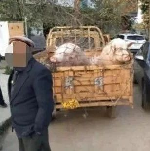 遂宁公安查获一批违反非洲猪瘟防控规定运输的生猪!