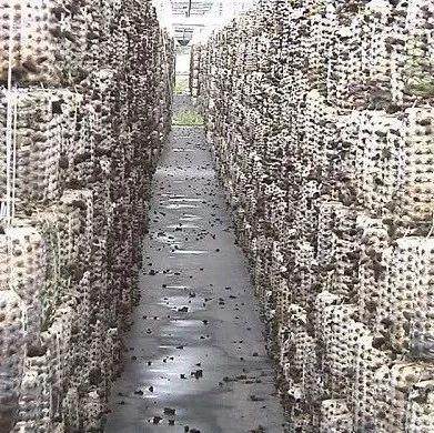 【产业扶贫】我市黑木耳基地建成投产?企业农户多方受益