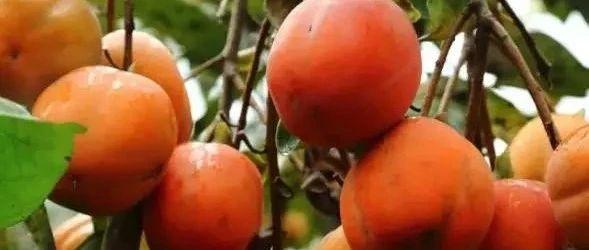 @�铌�人,你家柿子熟了�幔�//��家地理�酥井a品-�铌�柿子