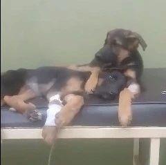 发生在宠物医院的暖心一幕,狗哥哥一直抱着受重伤的弟弟...
