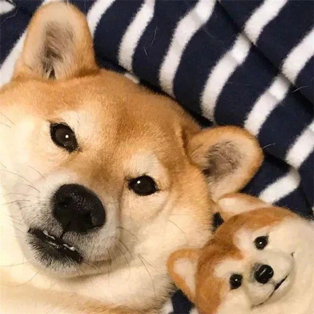 一只柴犬爱上了它自己,画面暖得有点可爱!
