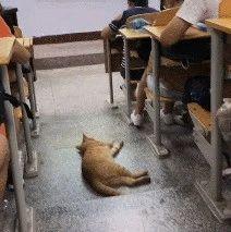 为避暑跑到教室吹空调的橘猫,心无旁骛睡大觉,这快成为班宠了吧