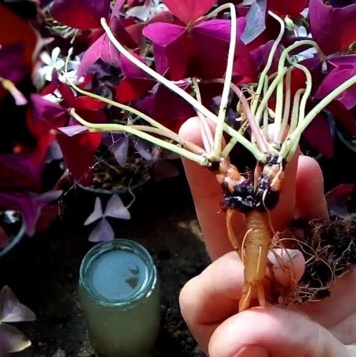 在野外挖�硪恍┤~片斑�痰男疫\草,�_出粉色小花,�B花盆特好看
