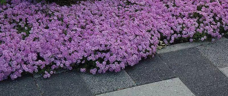 �B�@些植物很快�L�M整��花��,很�m合�B石板路的�p隙�g