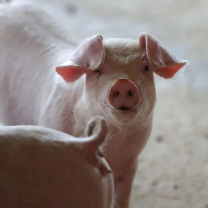 【民生】猪肉价格为何跌跌不休?