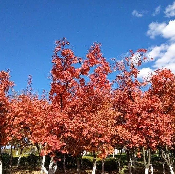 11月3-4日首届中原红枫节,邀您共赏醉美漯河千亩红枫园林!
