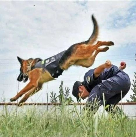看,汝州警犬!