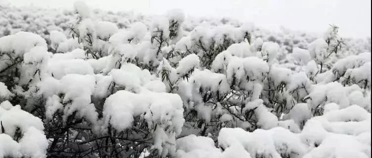 一夜飞雪,六盘山白了林梢!本周甘肃多地有小雨(雪),天水......