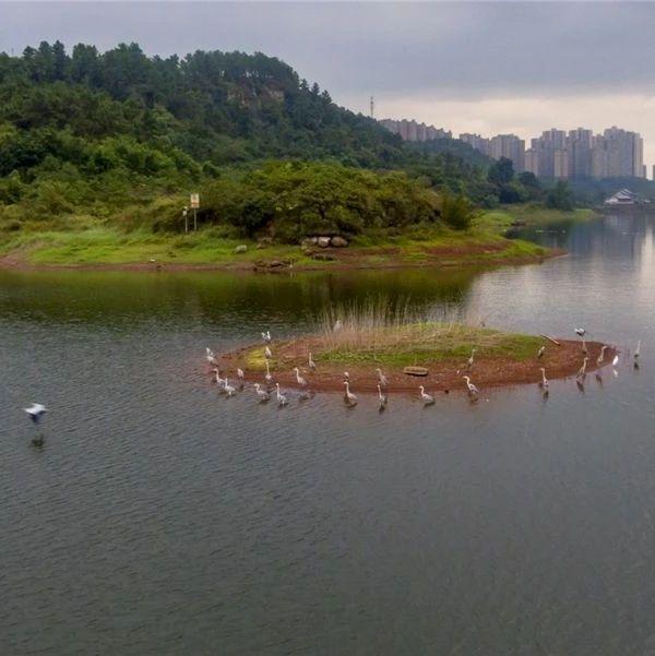 如约而至!数千只越冬候鸟飞抵隆昌,这里是最佳观赏地