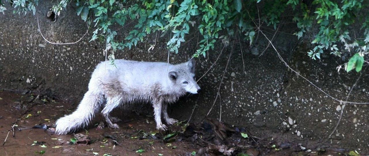 """""""浅浅,是你吗?""""湿地公园里惊现白狐,体长近1米,蓝灰色眼睛…(视频)"""