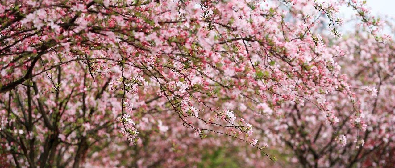 霸屏粉红色丨看过泸州这片最美的海棠,才算是经历了春天