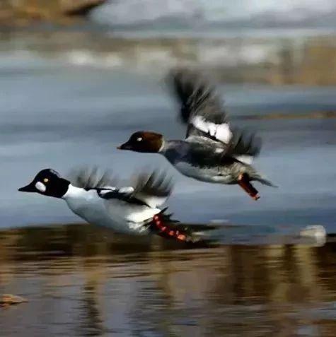 看!野鸭子起飞了!!!